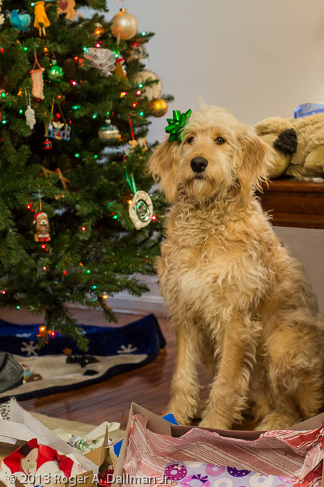 """""""Bo with a bow."""" One of the four dogs who came with the family to visit for Christmas."""