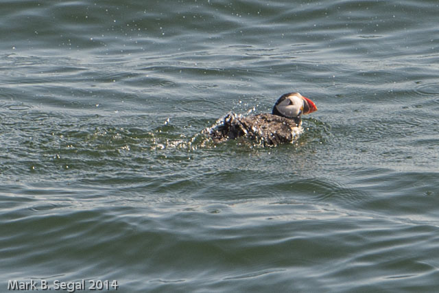 Did you know there is a Puffin song?