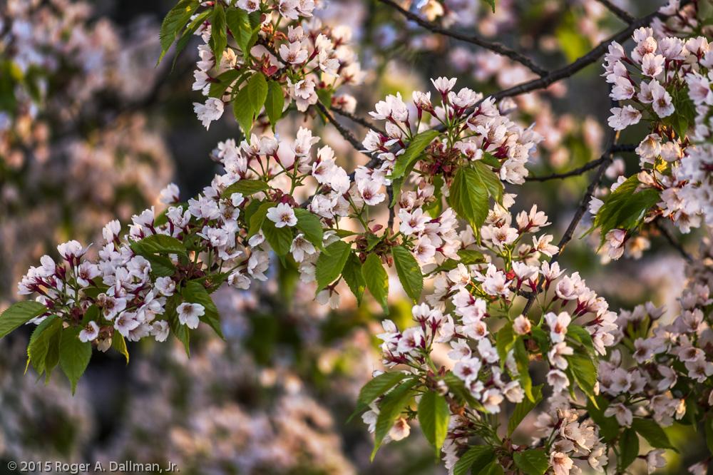 Cherry Blossom Festival, Washington, D.C.