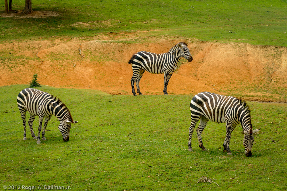 Zebras in the park