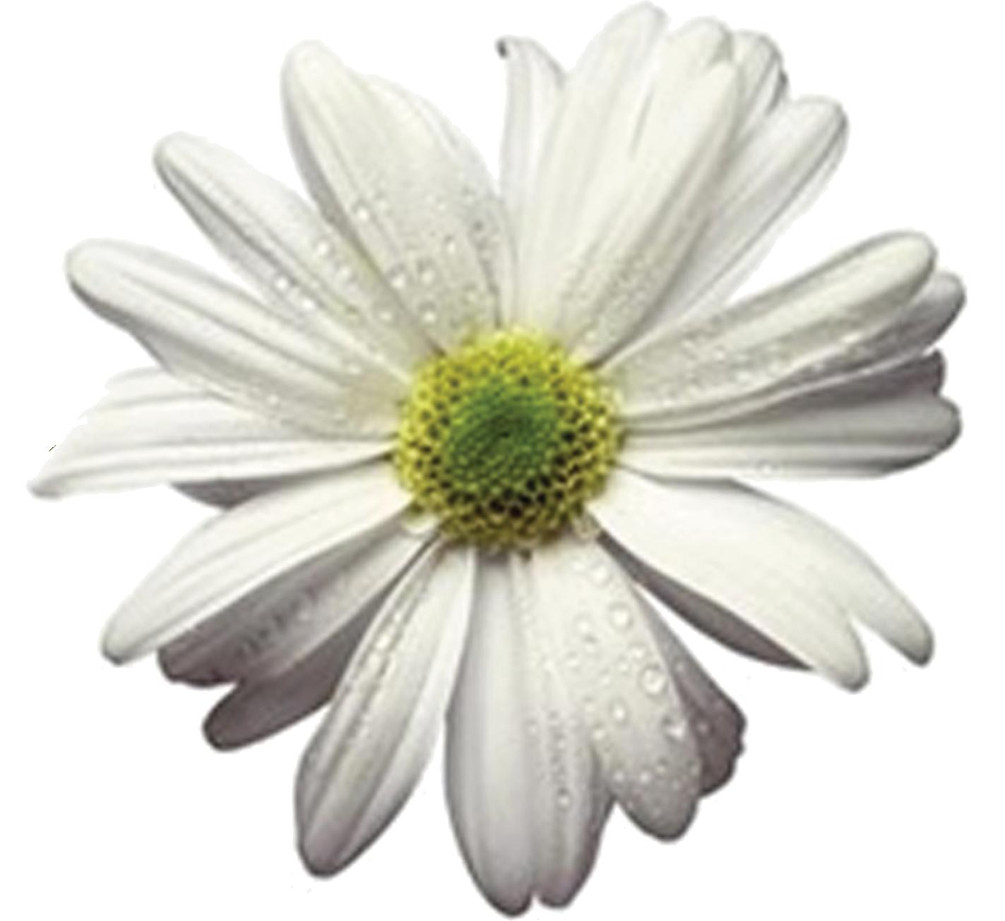 daisy-trans-bg.png