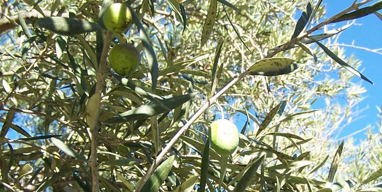 Olive Tree - p. Matt Gnibus