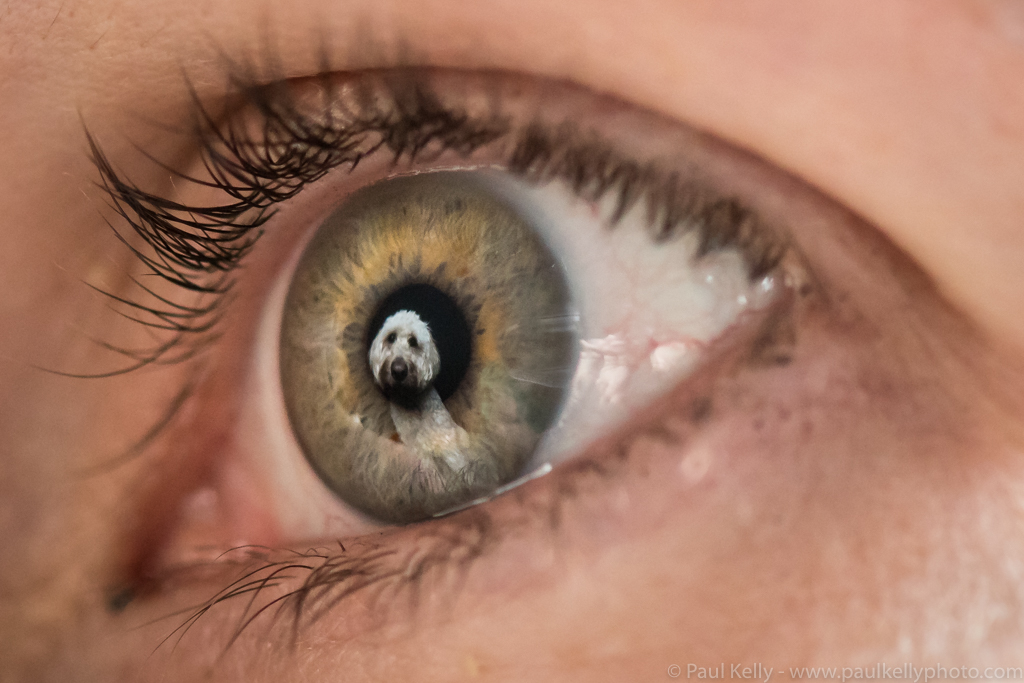 Labradoodle Eye Reflection.jpg