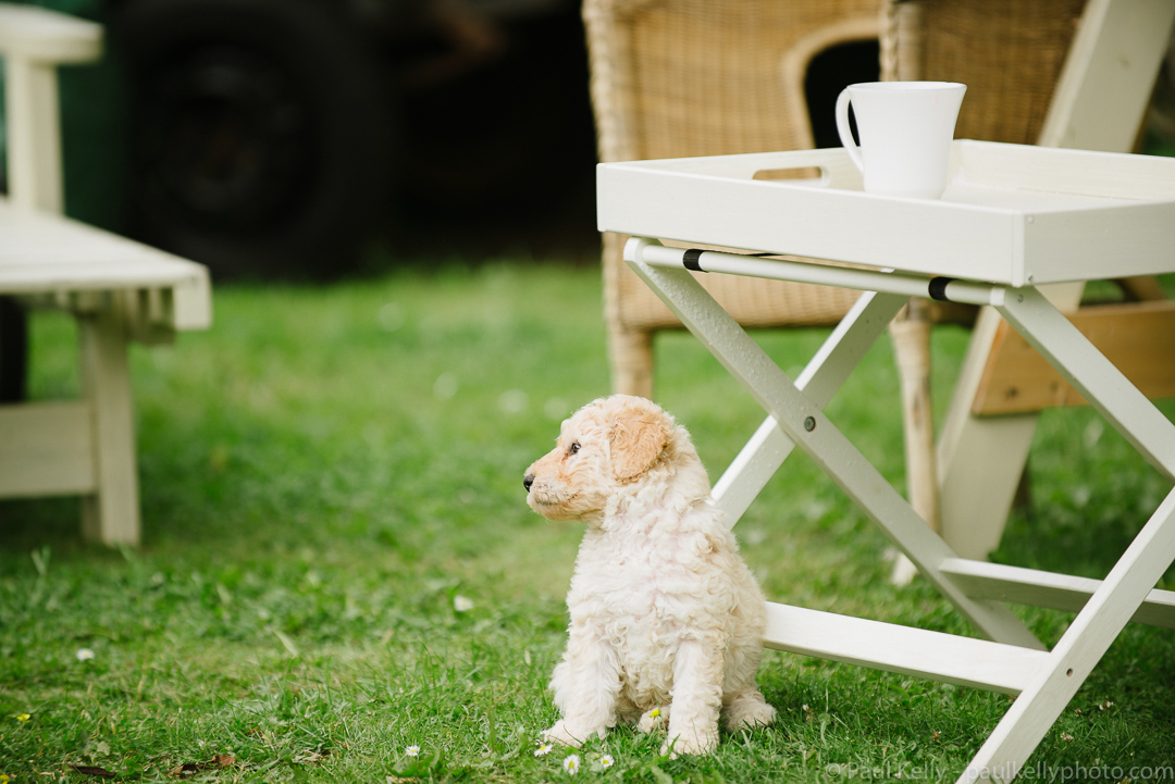 Labradoodle Puppy Tea.jpg