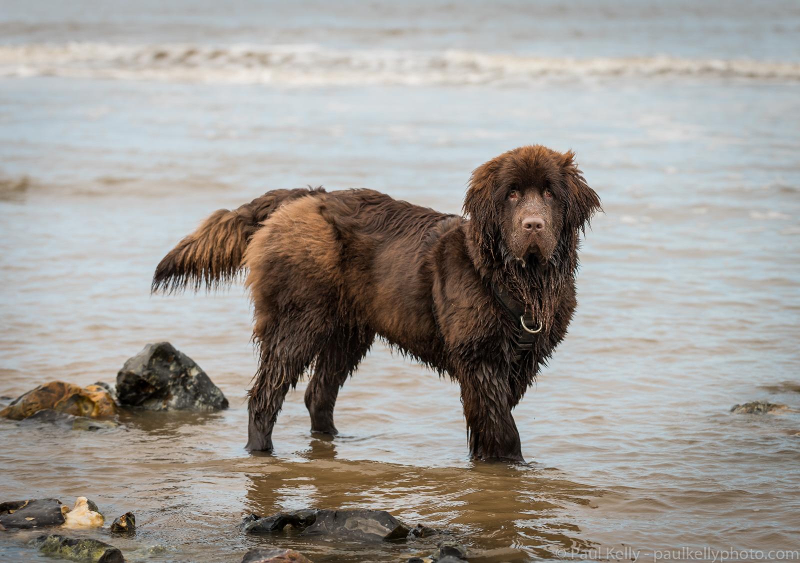 Newfoundland Puppy.jpg