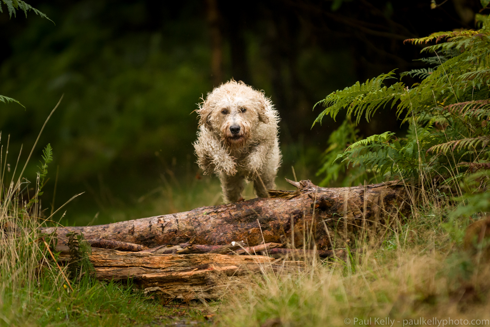 Labradoodle Jumping Log.jpg