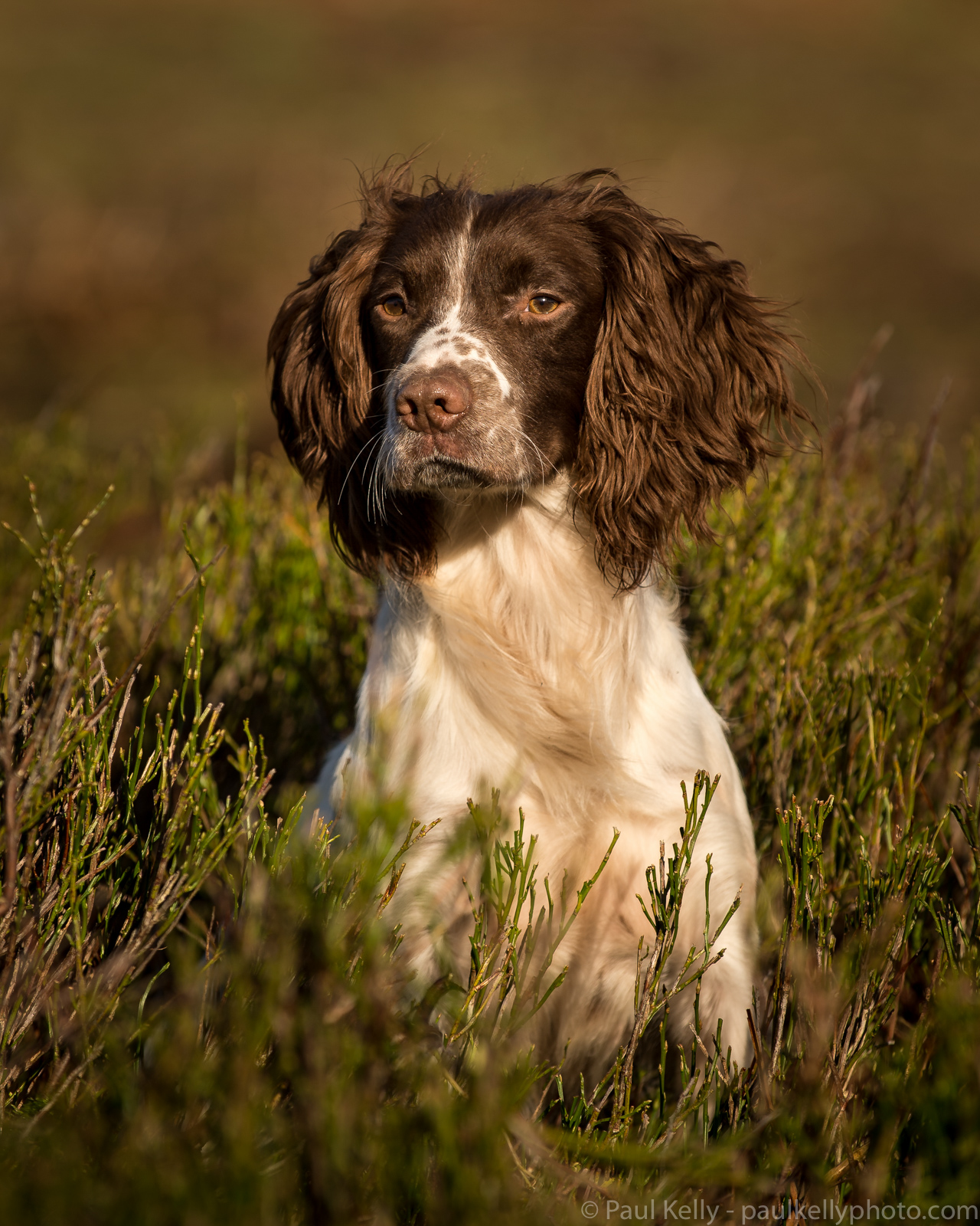 Springer Spaniel Heather Portrait.jpg