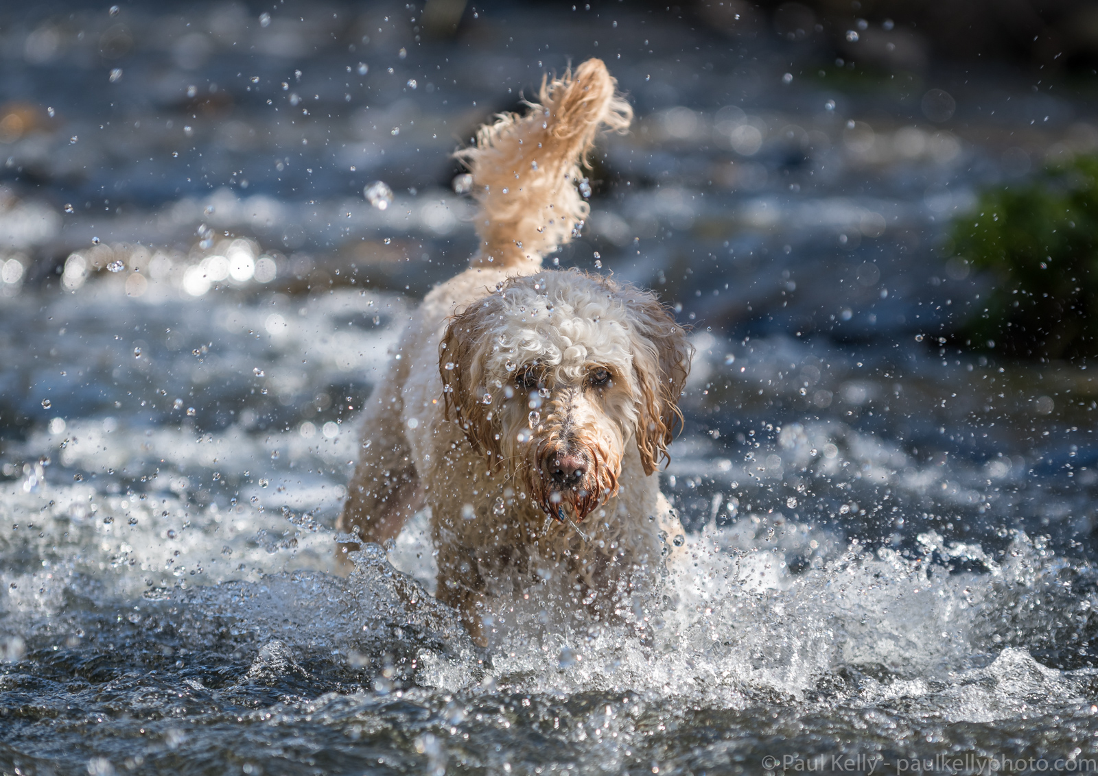 Labradoodle Splashing River.jpg