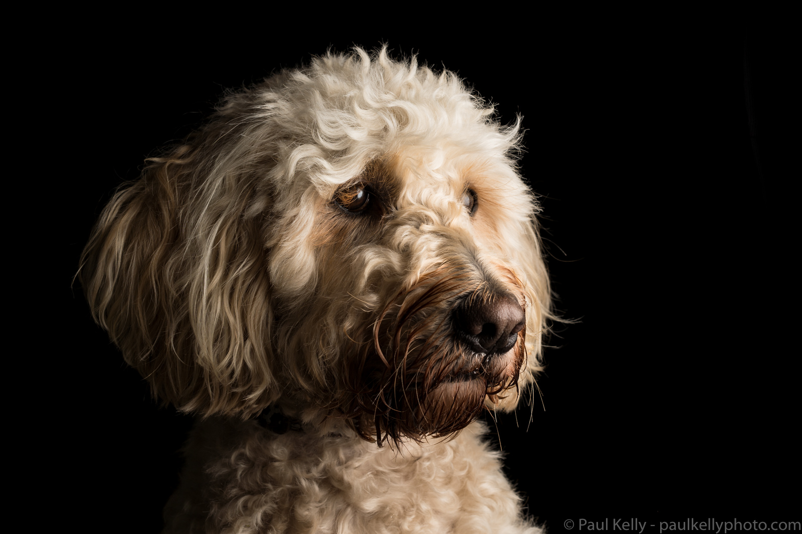 Labradoodle Low Key 2.jpg