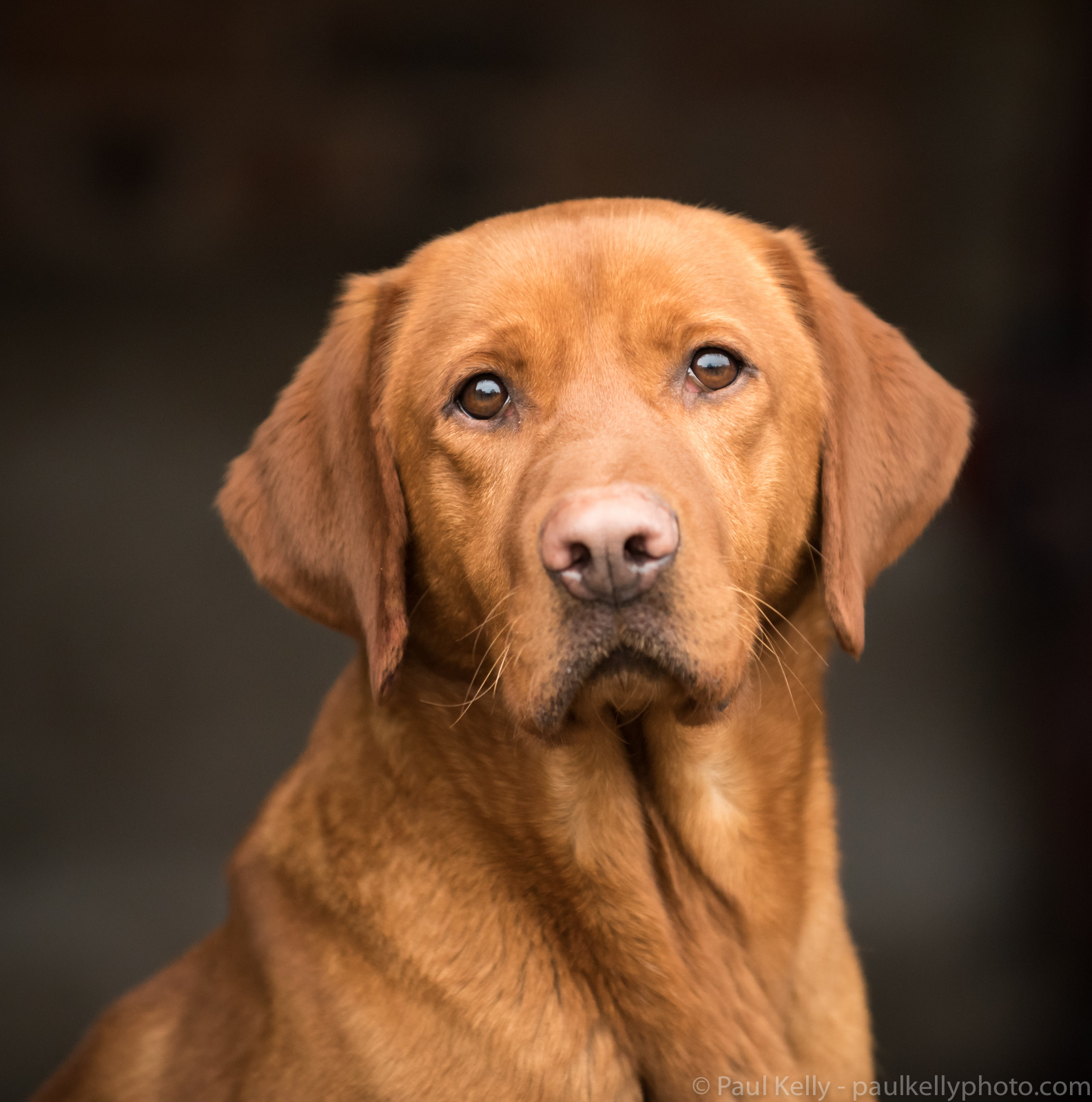 Fox Red Labrador Retriever.jpg