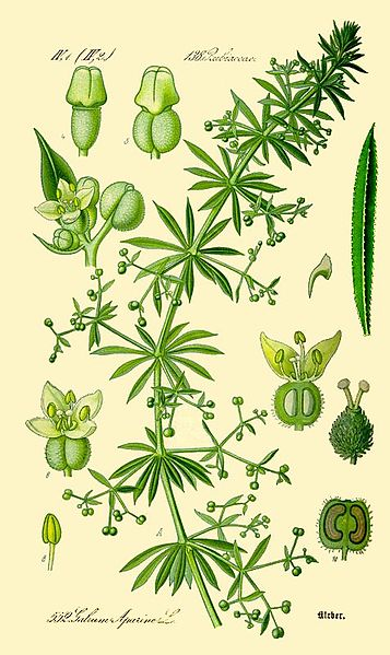 Galium aparine /Cleavers