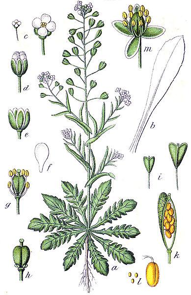 Capsella bursa-pastoris /Shepherd's purse
