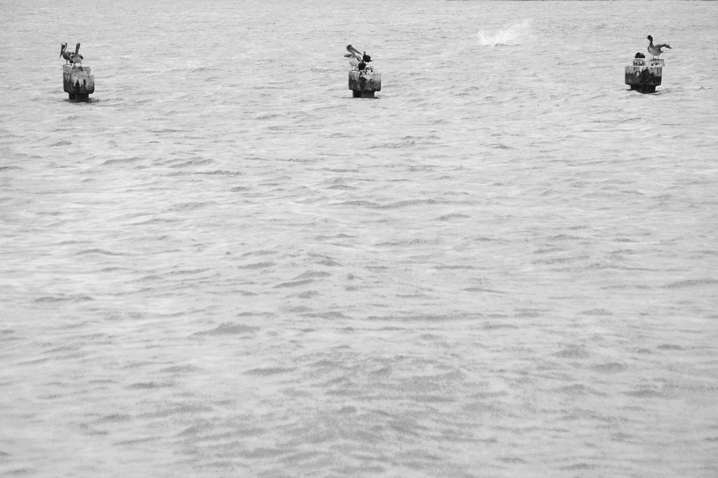 Black and White Duck Photography
