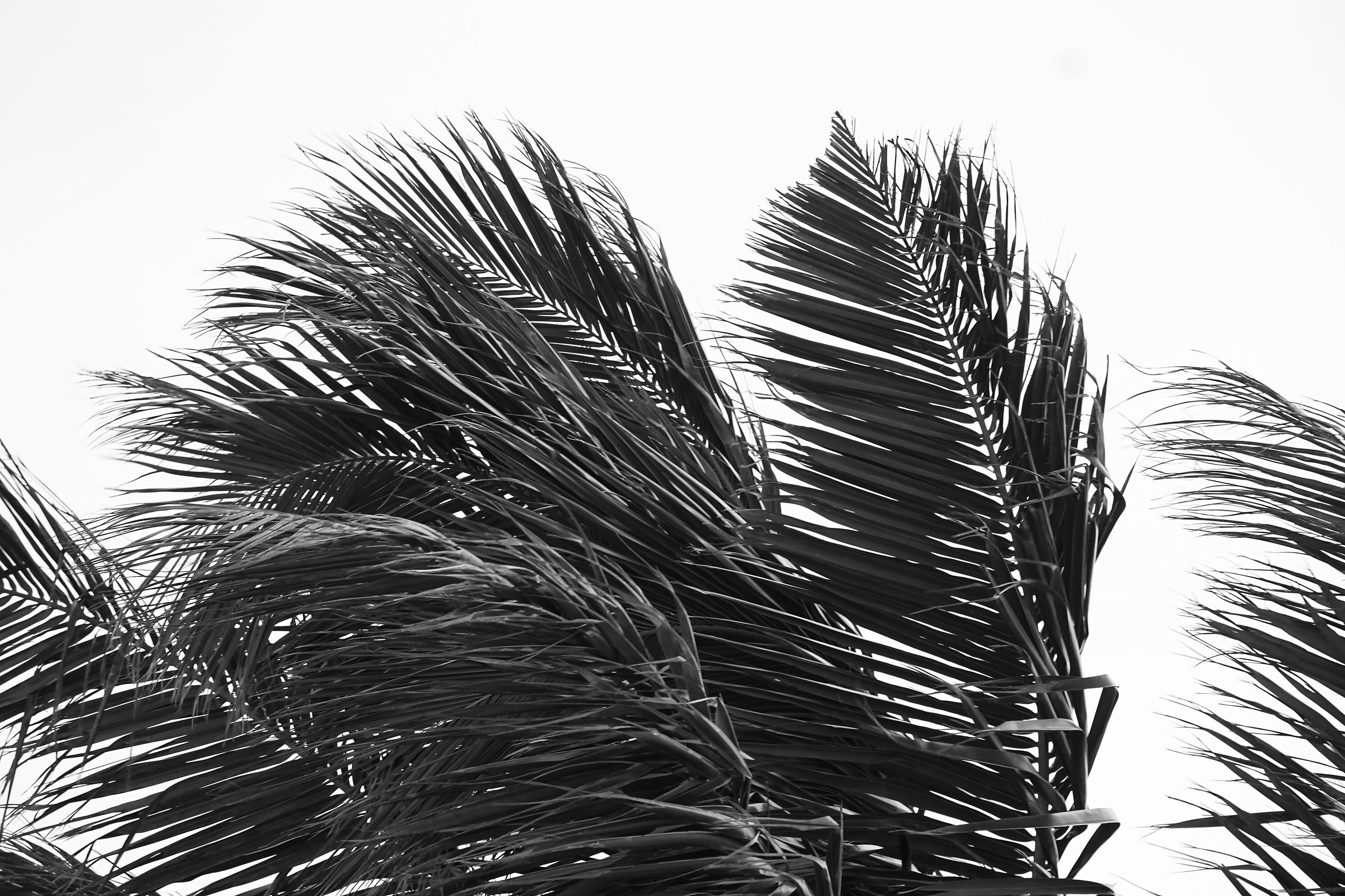 palm_tree_leaves_photography.JPG