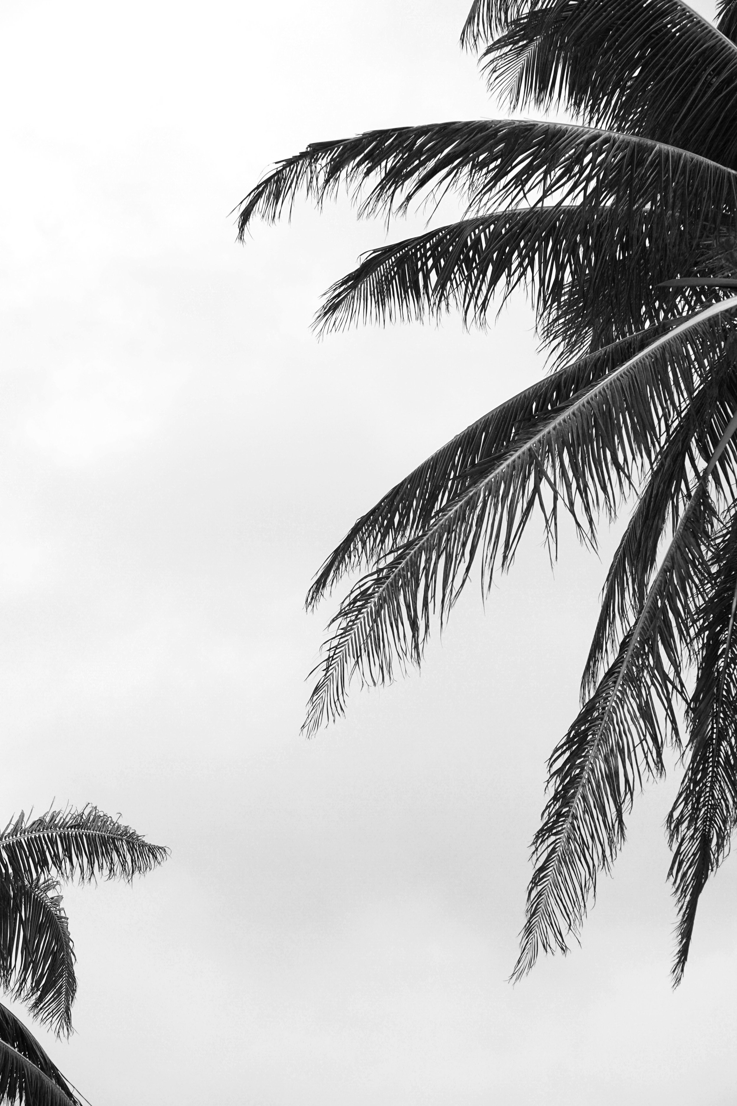Black and White Palm Tree Leaves Photography