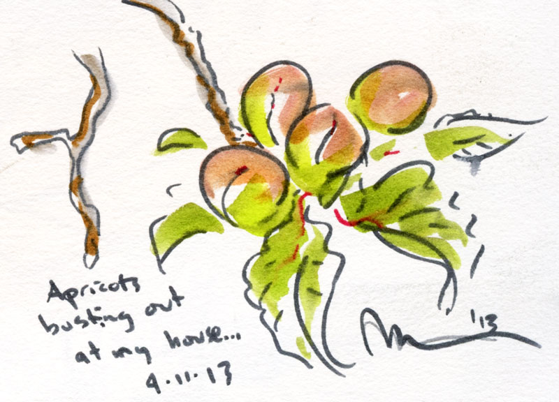 Apricots-early.jpg