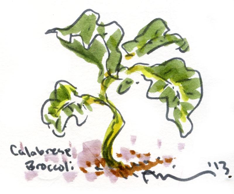 Calabrese-broccoli.jpg