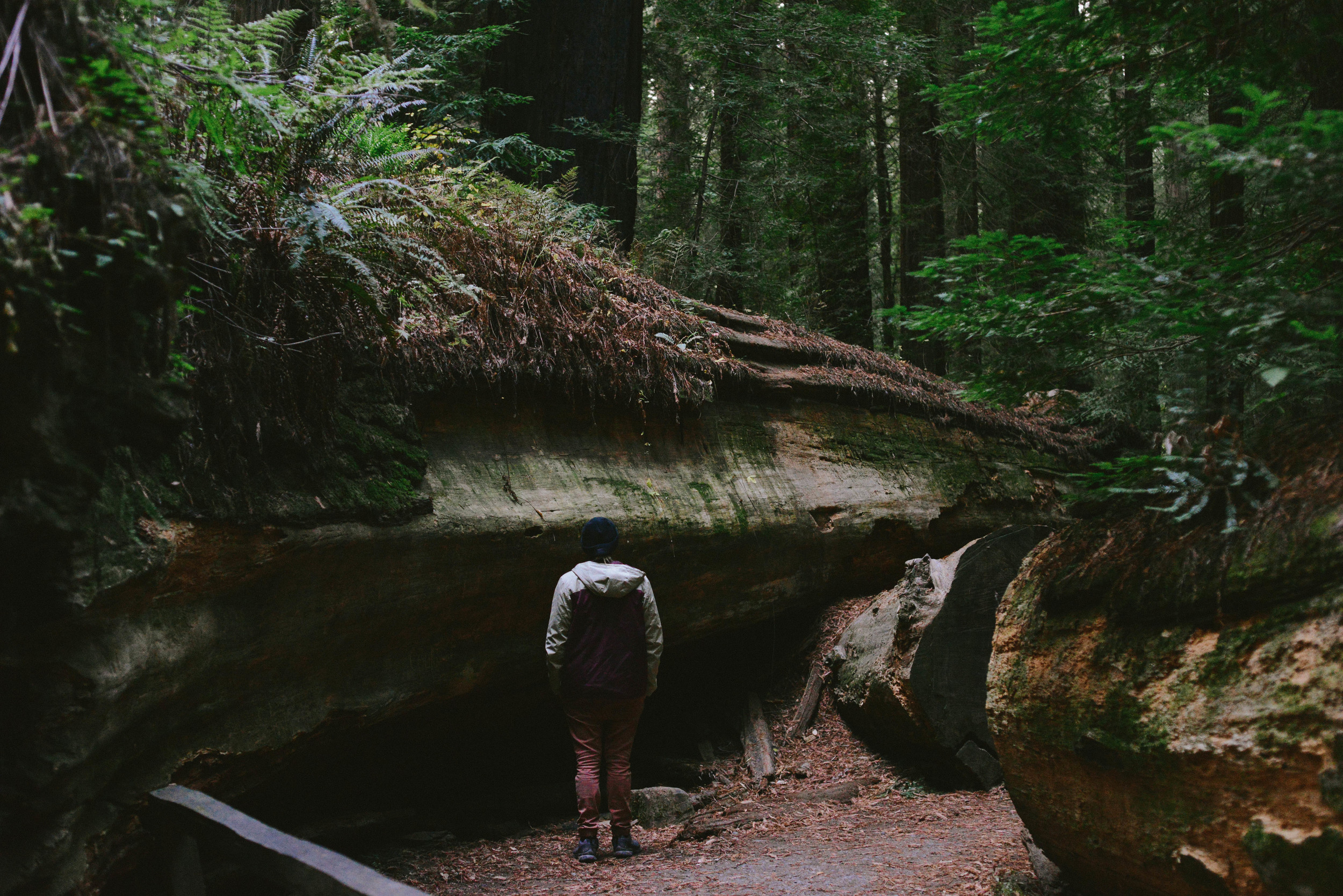 A fallen giant redwood.