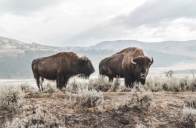 We met @rovbie this year in the mountains of Colorado! We had just been through Yellowstone Park ourselves so it was a lot of fun sharing stories of that wild place where beasts roam across the plains beneath the mountains along flowing rivers. Your photography captures the feelings we felt in the presence of these majestic creatures so well mate! Thanks for sharing & inspiring. #roaradventure featuring creative & adventurous people we meet on the road