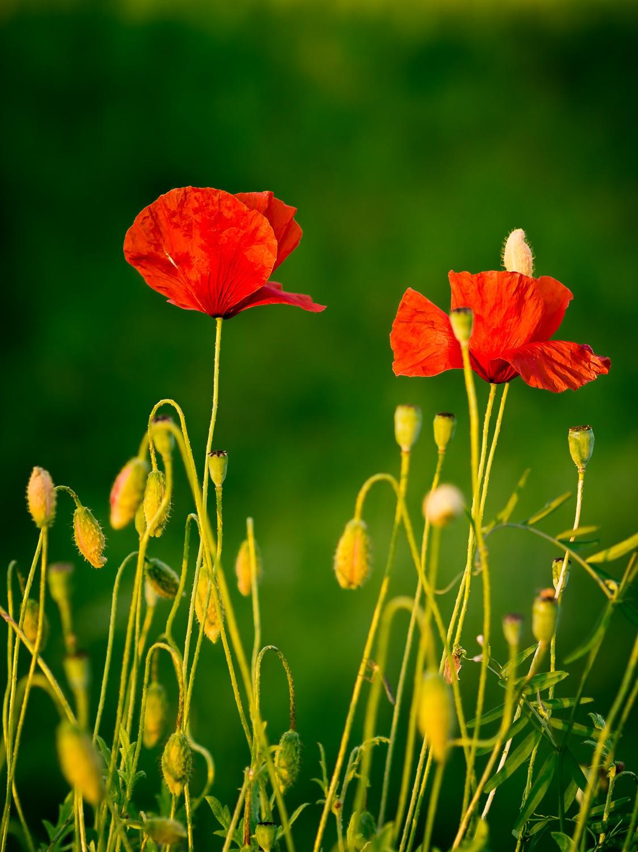 Mohn poppy green flower summer sunset makro bokeh
