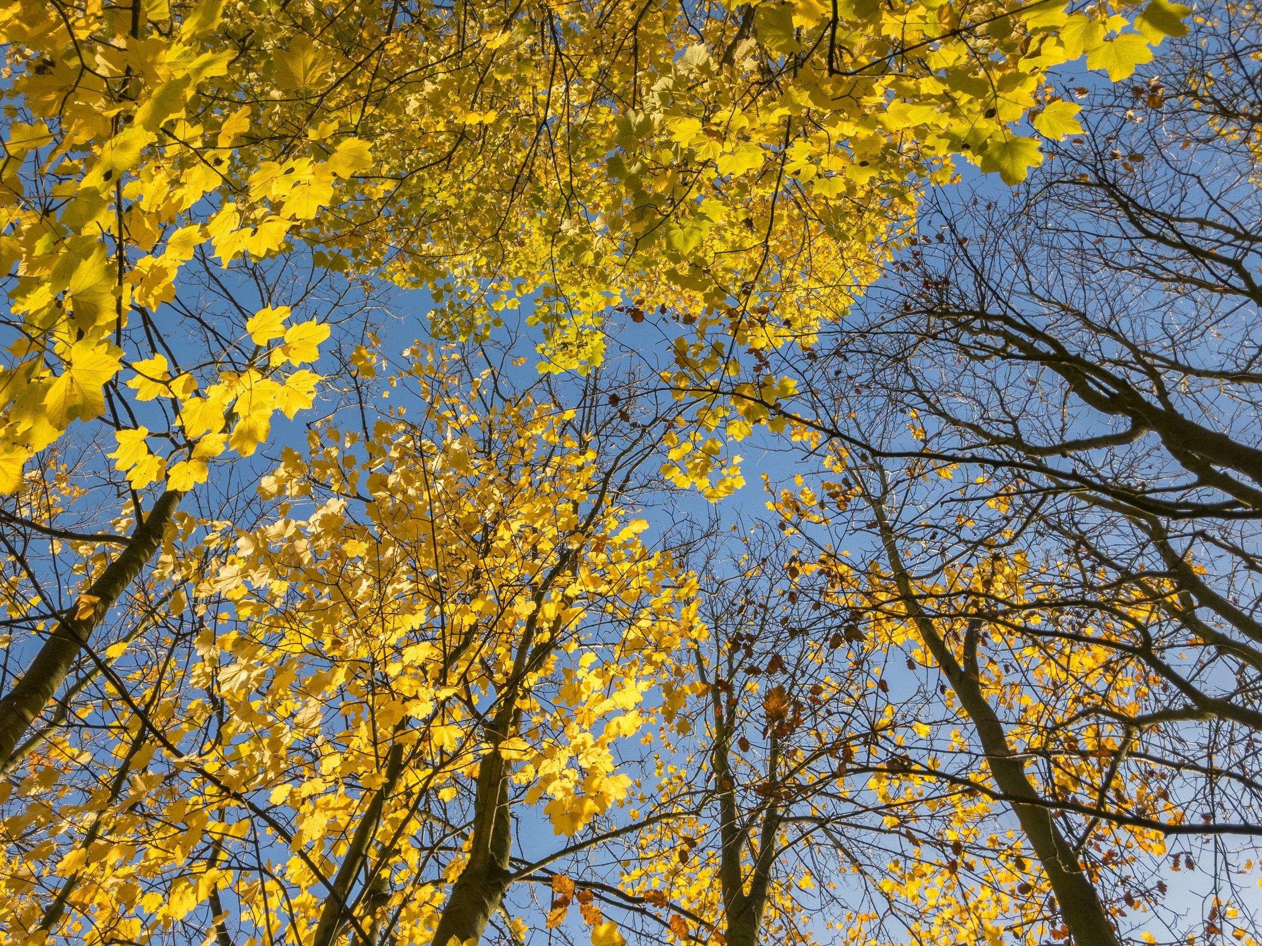 APC_0895-hdr - Herbst ShotoniPhone Autumn Blätter Leaves Sun Sonne Light Threes Licht Bäume Baum Stadt Osnabrück.jpg