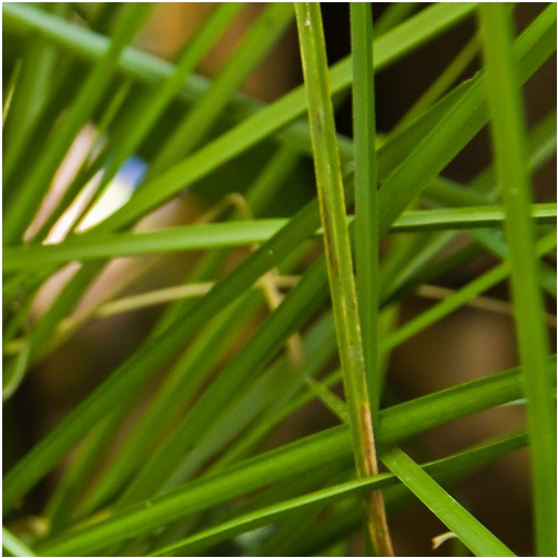 Detail of Vetiver grass, an earthy scent which is ruled by Saturn.