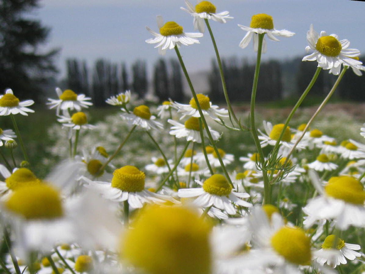 Chamomile blossoms doing their best imitation of that big yellow ball in the sky - the Sun!