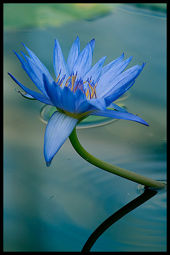 Blue Lotus has a spiritual significance in many cultures and has mild narcotic properties, so Neptune makes a natural ruler of this aquatic floral.