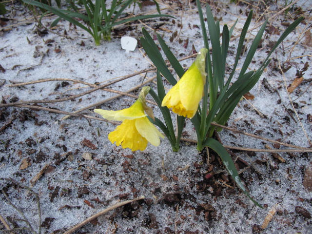 Very little stops a daffodil from it annual bloom!