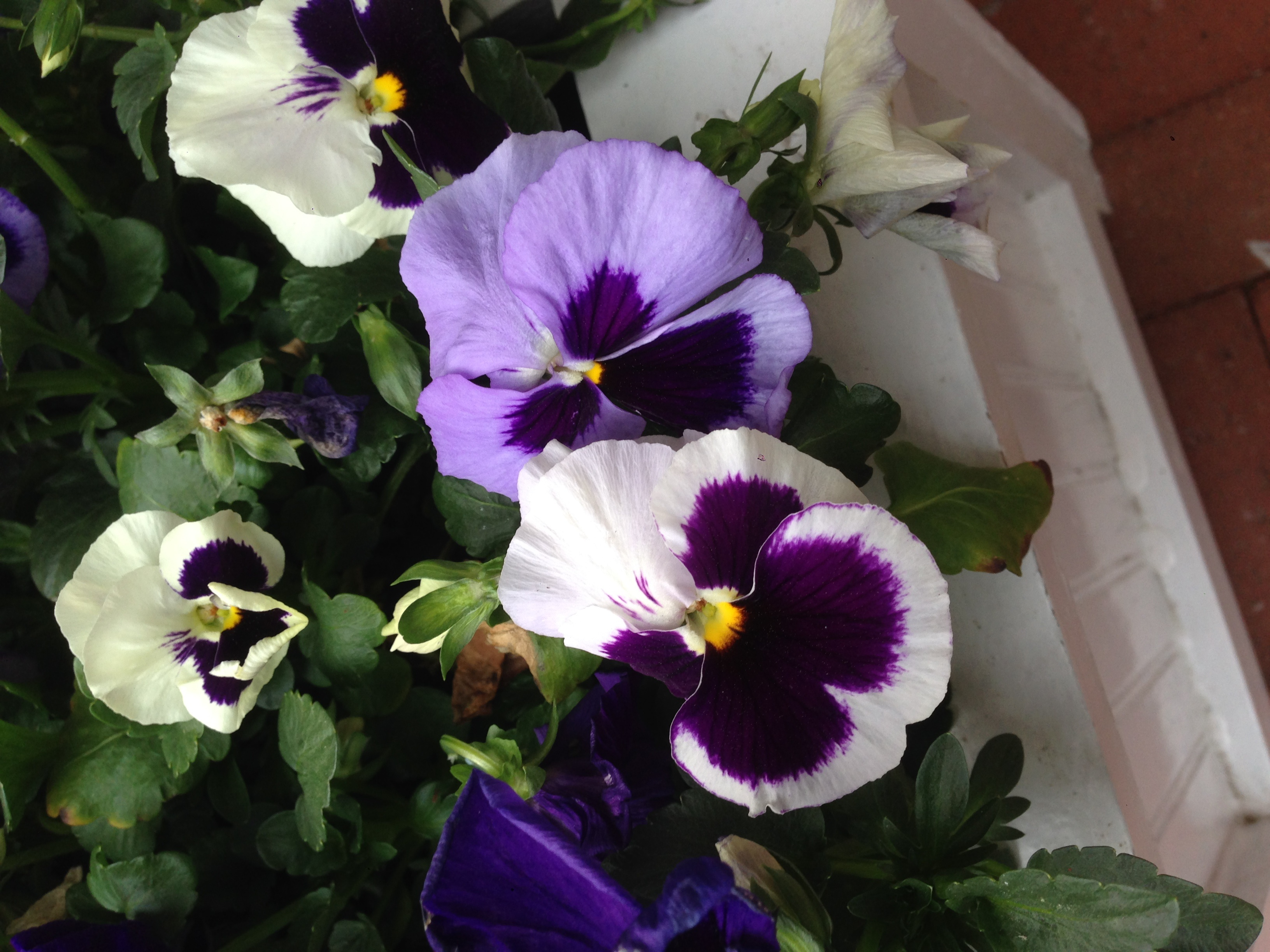Pansies - harbingers of spring