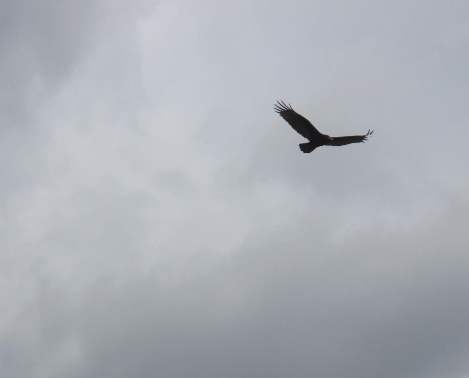 "A crow soars overhead. This is not one of the ""blackbirds"" which this post discusses at its onstart."