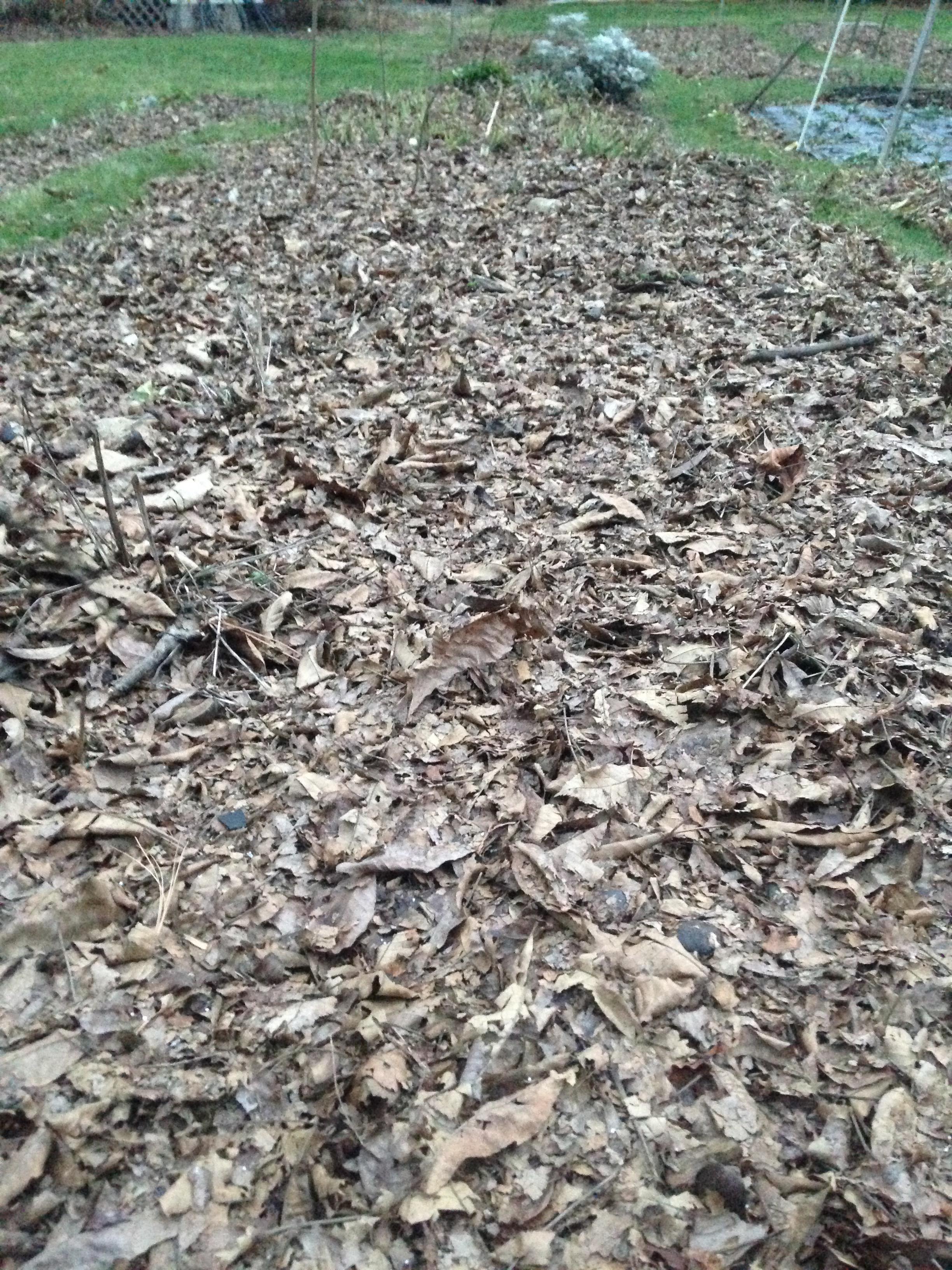 Leaf mulch on perennial bed.
