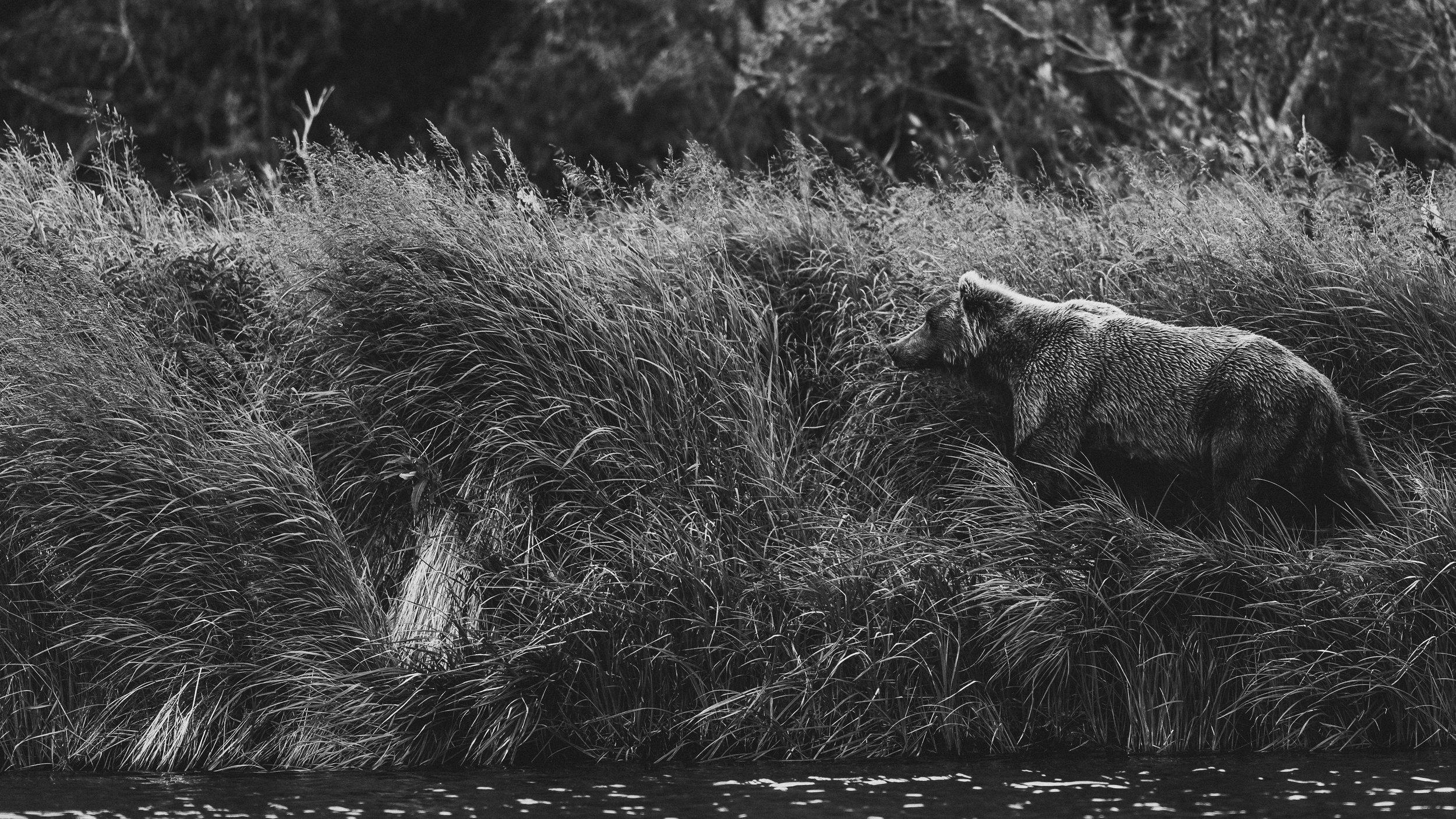 Bear Print-6385.jpg