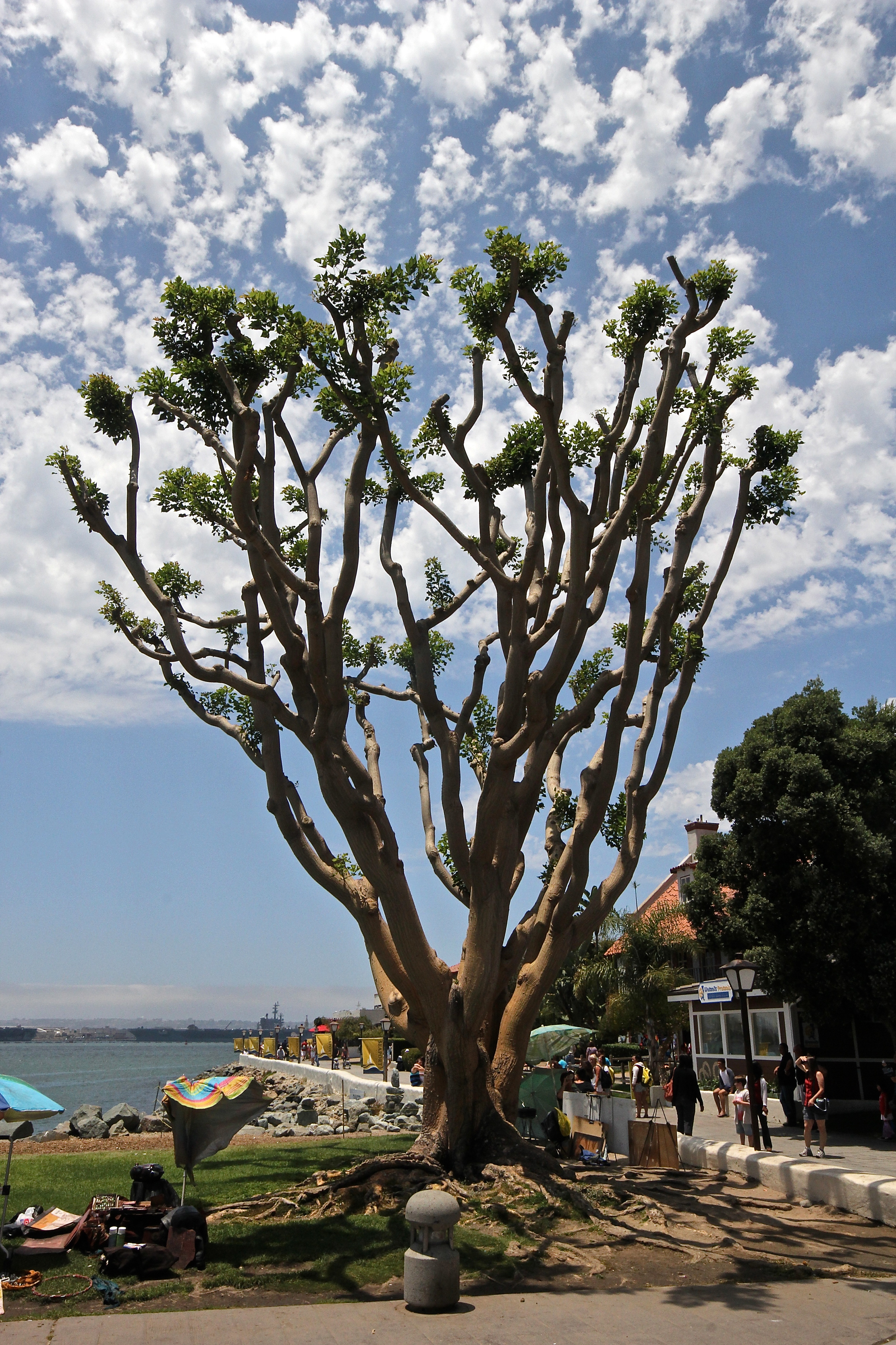 Tree at the Seaport Village
