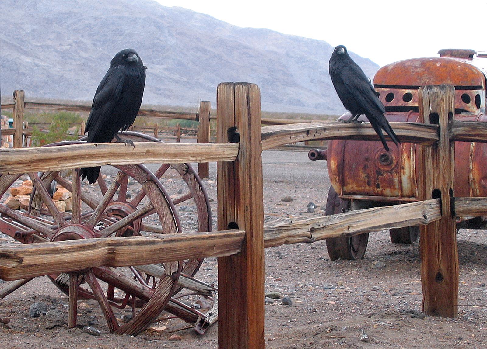 Crows, Death Valley, CA