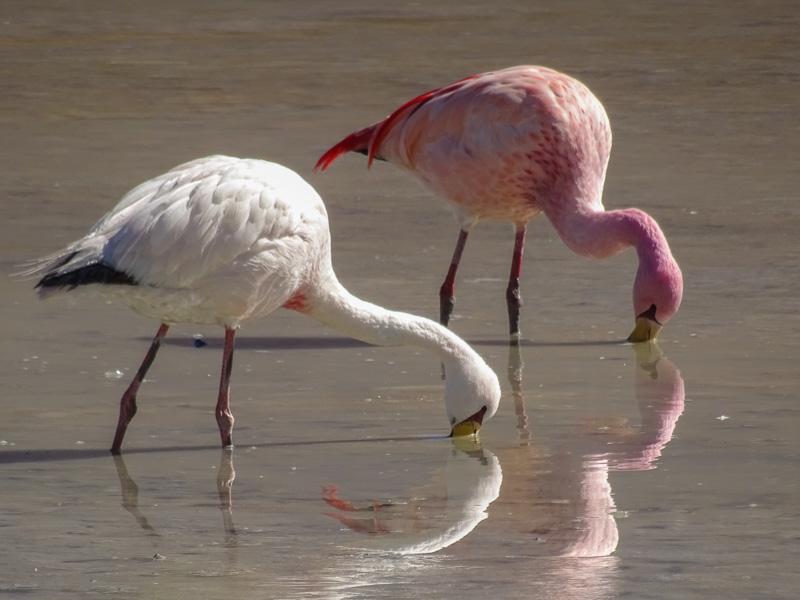 flamingos_salt_flats_tour_bolivia_1.jpg