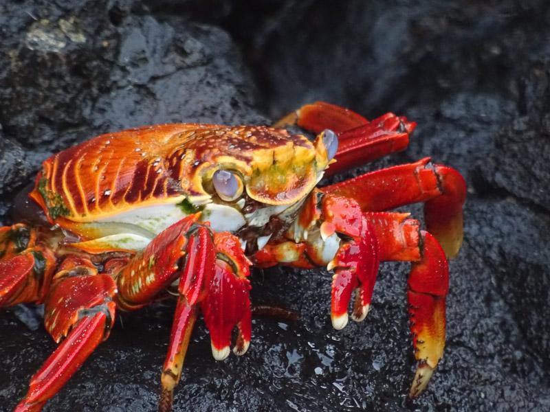 sally_lightfoot_crab_galapagos.jpg
