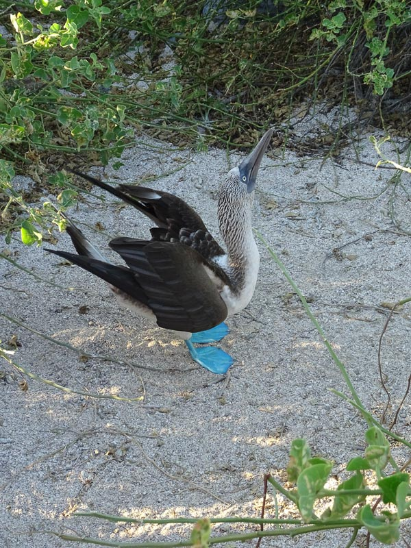blue_footed_boobie_mating_dance_galapagos.jpg