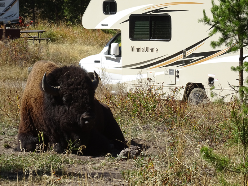 bison_chilling_next_to_rv_yellowstone_national_park.jpg
