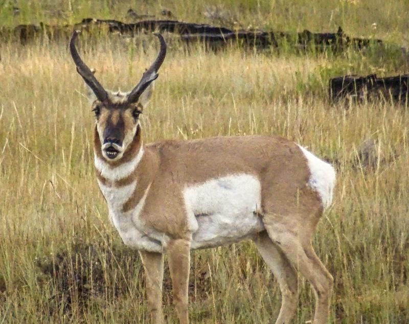 pronghorn_antelope_bryce_national_park_utah.jpg