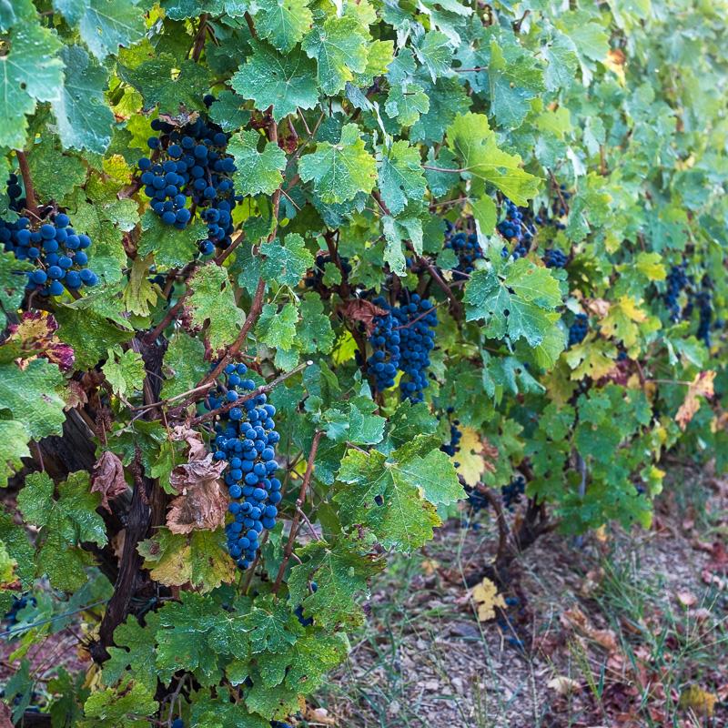 grapes_the_cinque_terre_italy.jpg