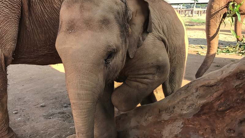 Baby elephant at Elephant Nature Park. This one will not have to go through the Phajaan, or crush.