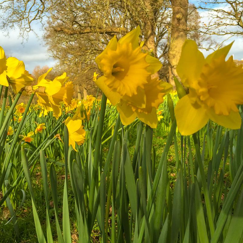 spring_daffodils_england.jpg
