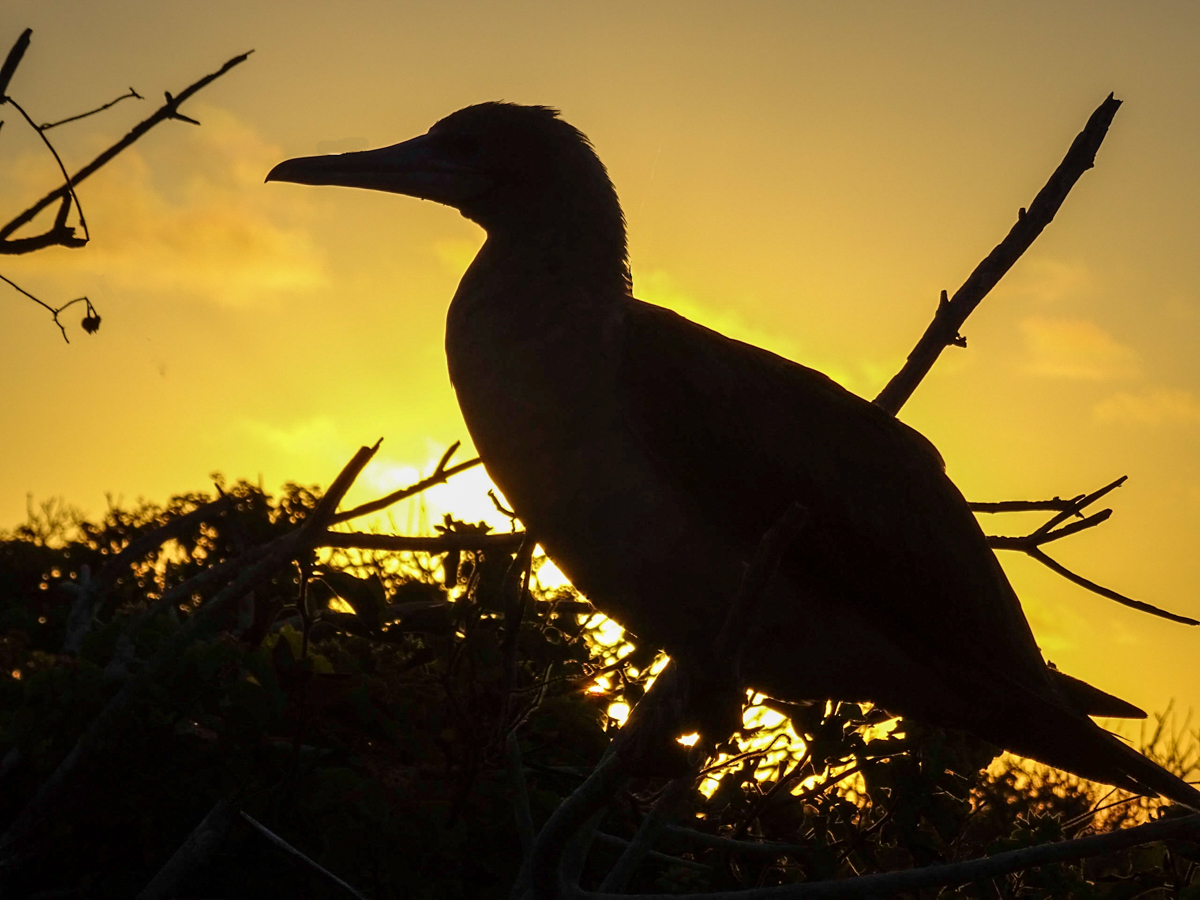 blue_footed_booby_sunset.jpg