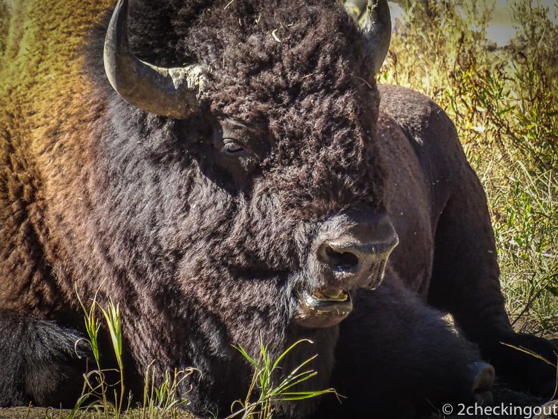 bison_yellowstone_usa.jpg