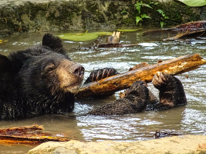 sun_bear_in_water_luang_prabang.jpg