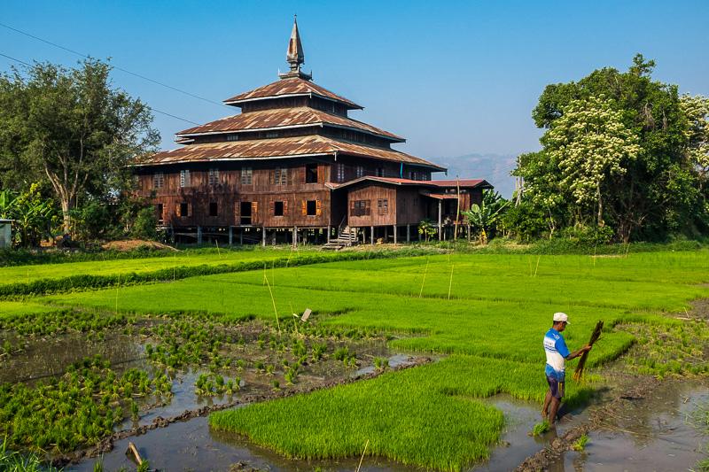 Rice Farmer working hard on his crop