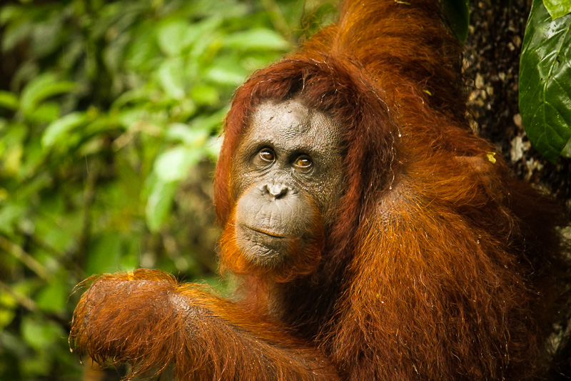 orangutan_borneo_semenoggoh.jpg