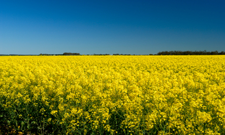 canola-fields-resized1.jpg