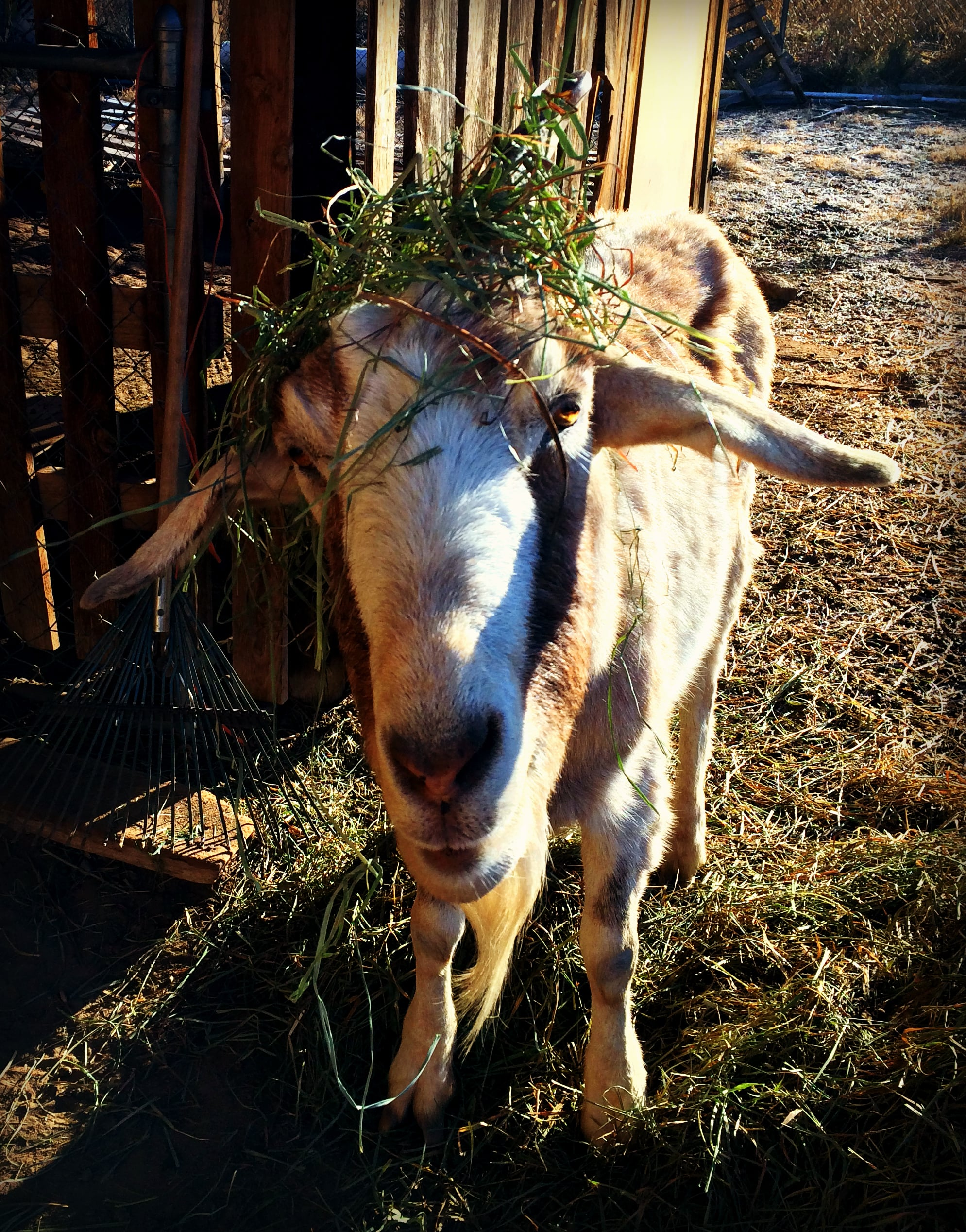 Every morning I wake up and step out into the cold to have breakfast with the goats. They are happy to see me and I am happy to see them. If it is true, laughter is the best medicine, then I have a backyard of wellness.